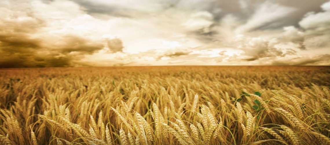 Wheat field - Agribusiness Recruiting - Agricultural Appointments